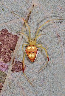 <i>Spintharus</i> genus of arachnids