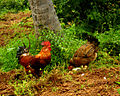 Cock, hen and chicken.jpg
