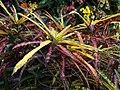 Codiaeum variegatum (70554).jpg