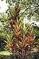 Codiaeum variegatum 26zz.jpg