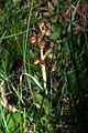 Coeloglossum viride PID1116-4.jpg