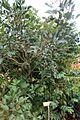 Coffea plant (2858293698).jpg