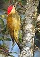 Colaptes rubiginosus Carpintero cariblanco Golden-olive Woodpecker (female) (11485661095).jpg