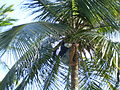 Collecting coconuts in Cayo Largo, Cuba 2.jpg