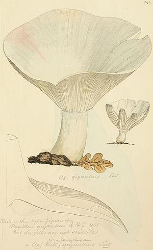 Leucopaxillus giganteus - Illustration of the type figure of L. giganteus (originally Agaricus giganteus) (1803)