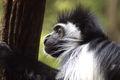 Colubus Monkey 005.jpg
