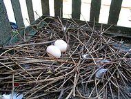 Ninho com dois ovos.
