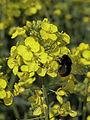 Colza fleur et bourdon Cl J Weber (23592616041).jpg