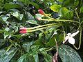 Combretum indicum NP-04.jpg