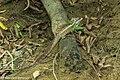 Common Basiliscus - Darien - Panama (48455029757).jpg