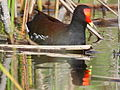 Common Gallinule California.jpg