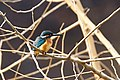 Common Kingfisher In Korea (189565343).jpeg