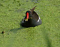 Common Moorhen (Gallinula chloropus)- Adult bringing feed the juveniles in Hyderabad, AP W 037.jpg