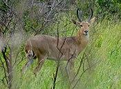 Common Reedbuck (Redunca arundinum), Kruger National Park.jpg