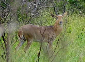 Reedbuck - Image: Common Reedbuck (Redunca arundinum), Kruger National Park