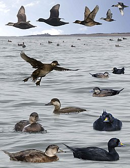 Common Scoter from the Crossley ID Guide Britain and Ireland