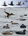 Common Scoter from the Crossley ID Guide Britain and Ireland.jpg