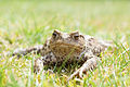 Common Toad (European Toad).jpg