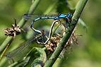 Common blue damselflies (Enallagma cyathigerum) female dull green heterochrome form mating wheel 2.JPG