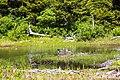 Common loon (27940005612).jpg