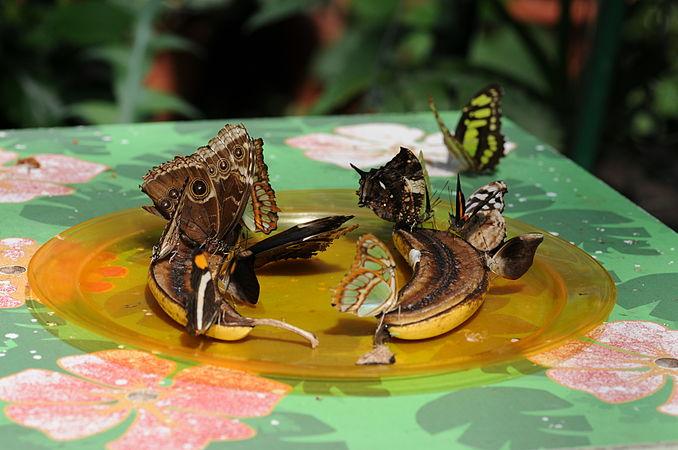 ComputerHotline - Lepidoptera sp. (by) (32).jpg