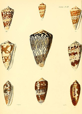 Conchologia iconica, or, Illustrations of the shells of molluscous animals (Conus, Plate 3) (6029517691).jpg