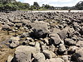 Concretions at hot water Beach 10.JPG