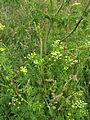Conium maculatum Cresswell 03.jpg