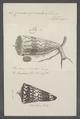 Conus generalis - - Print - Iconographia Zoologica - Special Collections University of Amsterdam - UBAINV0274 086 07 0045.tif