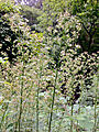 Conyza canadensis - Canadian horseweed.jpg
