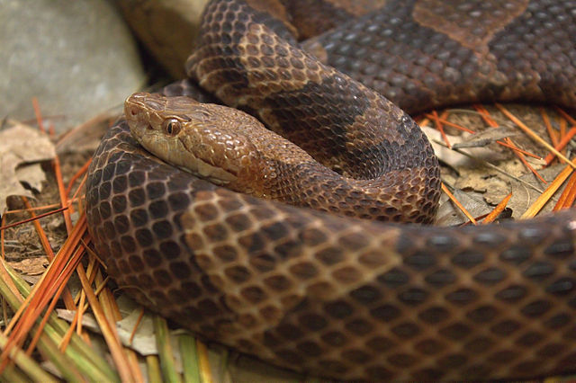 "A venomous copperhead snake. ""Agkistrodon contortrix taken at the Cincinnati Zoo."" Photo by Greg Hume, Wikimedia Commons (CC BY-SA 3.0) https://creativecommons.org/licenses/by-sa/3.0/deed.en"