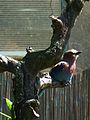 Coracias caudata Zoo Landau Juni 2011.JPG