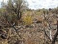 Cordylanthus ramosus (3940118012).jpg