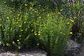 Coreopsis verticillata GotBot 2015 004.jpg