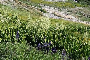 Veratrum californicum - Image: Corn lilies Veratrum californicum Black Rock Pass