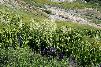 Veratrum californicum - Image: Corn lilies Veratrum californicum Black Rock Pass