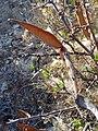 Cornicabra fruto-1.jpg