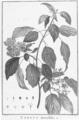 Cornus alternifolia HdB1.png