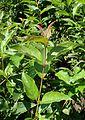 Cornus racemosa kz3.jpg