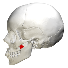 Coronoid process of mandible - lateral view.png