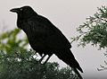 Corvus coronoides with throat feathers out but straighter neck.jpg