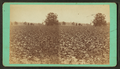 Cotton field, by J. A. Palmer.png