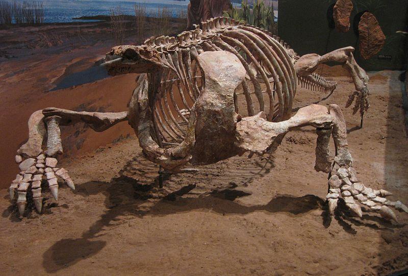 Cotylorhynchus romeria from Norman, Oklahoma.jpg