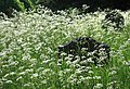 Cow parsley and graves, Ford - geograph.org.uk - 830003.jpg