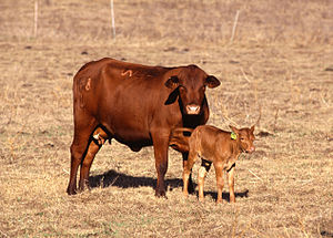Cow with calf.jpg
