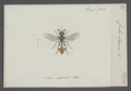 Crabro - Print - Iconographia Zoologica - Special Collections University of Amsterdam - UBAINV0274 043 11 0008.tif