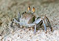 Crabs of Seychelles 06.jpg