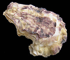 Crassostrea angulata.jpg
