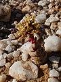 Crassula columnaris Knersvlakte 02.jpg