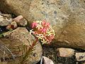 Crassula fascicularis.JPG